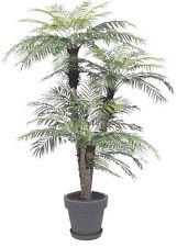 Zwergdattelpalme Phoenix roebelenii Zimmerpalme Büropflanze Balkonpflanze robust