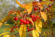 TEA CRAB APPLE Malus hupehensis in 9cm pot EDIBLE WILD FRUIT and AUTUMN COLOURS