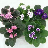 """African Violet Plant Novelty 4""""Clay Pot Blooming Plants Garden Indoor Outdoor"""