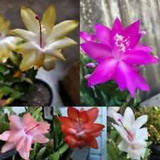 Magenta/Yellow/Pink/ Red/White Thanksgiving Cactus 5 Plant Cuttings succulent