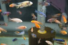 *SALE* Peacock Cichlid assortment pack 4 fish!