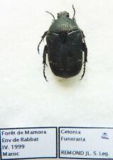 Cetonia funeraria ( 1 ex A1) from MAROCCO (Cetoniidae)