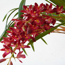 Orchid Acanthephippium Flower 36 Seeds Species (Type T2) Real Seeds