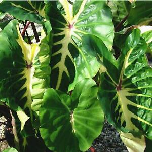 White Lava Elephant Ear Live Plant - Colocasia