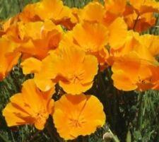 100 ORANGE POPPY FLOWER SEEDS FREE SHIPPING POPPY SEED