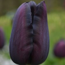 PRE-ORDER - 10 x Queen of Night Tulip Bulbs. Almost Black Spring Flowers.