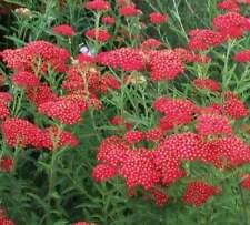 100 Red Alyssum Seeds Carpet Flower Sweet Royal Boarder Plant Garden Seed 299