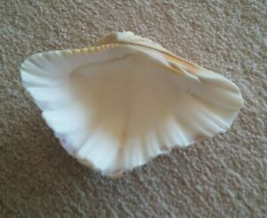 """Clam Shell-Real 6 1/2"""" or 17cm x 4 1/2"""" or 12cm Australian-Decoration/Soap Dish"""