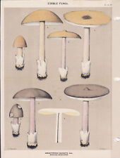MUSHROOM PRINT. Edible Fungi Of New York. Circa 1900 ~Amanitopsis Vaginata~