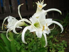 Hymenocallis Peruvian Spider Lily White Flower - FLOWERING SIZE BULB - SHOWY