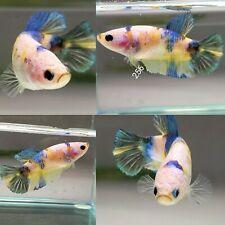New listing � Imported Live Betta Fish Female � Yellow Blue koi Galaxy Plakat Halfmoon