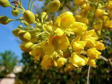 Caesalpinia mexicana, GELBE Blühte den ganzen Sommer durch,10 Samen, 10 seeds