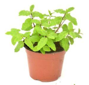 Mints, Spearmints, Chocolate Mints, Peppermints Live Plant menthol herb plant