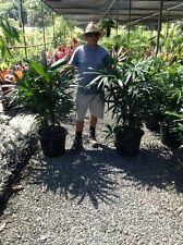 SALE RHAPIS PALM tree 40 CM POT PLANTS $135 CHEAP GOLD COAST NURSERY