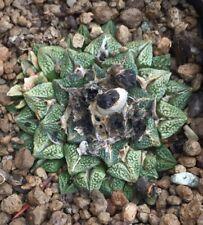 10 Ariocarpus retusus CAULIFLOWER X Kotschoubeyanus 44M semi seeds korn semillas