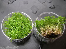 2 coupes  hemianthus callistrichoides cuba in vitro made in france plante rare