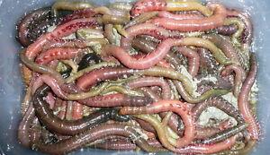 Live Fresh  Lugworm Sea Fishing Bait