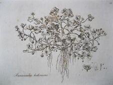 Vintage Print,IVY LEAVED CROWFOOT,Flora Londensis,1777-1798,WilliamCurtis