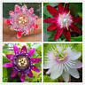 100X Leinschaft Blumensamen Garten Rare Passiflora S Pflanzen Incarnata Neu V1N1