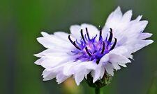 750 White Bachelors Button Cornflower Seeds *Comb S/H