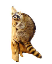 Climbing Raccoon Professional Taxidermy Animal Statue Home Office Gift