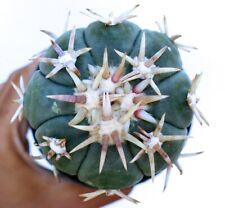 5 Echinocactus horizonthalonius cv SIROTOGE SUIHEIMARU (THAI IMPORT) seeds semi