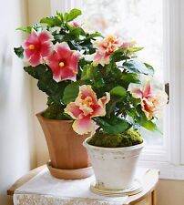 NEW !!! Hibiscus Seeds Hardy DIY Home Garden potted or yard flower plant.