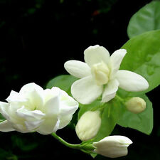 20pcs Beautiful Arabian Jasmine Sambac White Shrub Flower Seeds Decoration