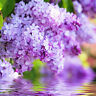 Lilac Blossom Fragrance Oil, Candles, Wax Melts, Bath Bombs, Soap, Perfume Scent