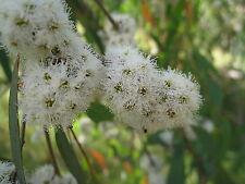 Huile essentielle Eucalyptus radié - radiata pure et naturelle