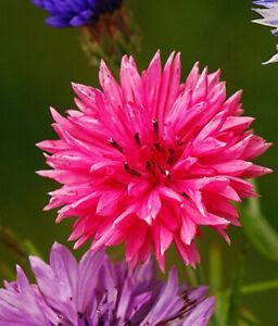 100 x Cornflower Double Pink Ball  - Centaurea cyanus seeds. NON GMO