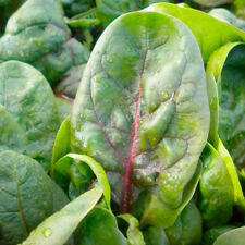 VEGETABLE  SPINACH RUBINO F1  4 GRAM ~ APPROX 380 SEEDS  BABY LEAF OR MATURE