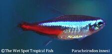 "(24) .5""+ Neon Tetra Paracheirodon innesi live freshwater tropical fish beginner"