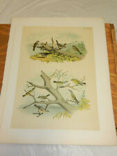 1878 Antique STUDER COLOR BIRD Print/VARIOUS TYPES SPARROWS, FINCHES, & VIREO'S