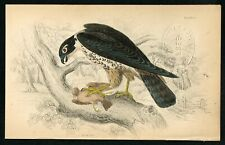 1840 Hobby Falcon, Hand-Colored Antique Ornithology Print - Lizars