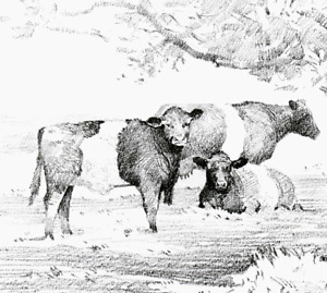 ..BELTED GALLOWAY CATTLE, DRAWING. VINTAGE PRINT OF A DRAWING BY BENINGFIELD