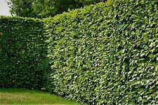 🌿Hainbuche (Carpinus Betulus) 150-175cm 7,5-10 Liter Topf - TOPPREIS🌿