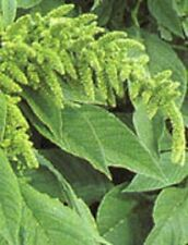200 Green Thumb Amaranthus Hypochondriacus Flower Seeds Amaranth *Comb S/H +Gift