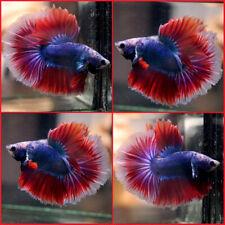 New ListingLive Betta Fish Super Blue Purple Red Rosetail Hm Male #A359