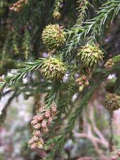 Sicheltanne Cryptomeria japonica Pflanze 15-20cm Sugi Japanische Zeder Zypresse