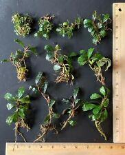 Live Aquatic Plant | Bucephalandra Stems 10 Pack | 10 x Nice Stems