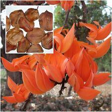 Butea monosperma 20 Seeds Bastard Teak Bengal Kino Kino Tree Flame of the Forest