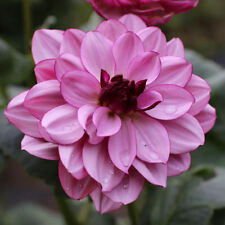 20PCS Bonsai Dahlia Flower Seeds Pink Red Flower Plant Perennial for Home Garden