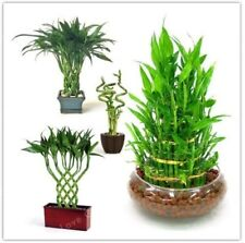 20Pcs Lucky_Bamboo Home Garden Plant Seeds Variety Dracaena Seeds Bonsai Potted