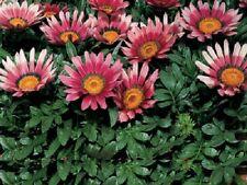 50 Gazania Seeds Pink Seeds Flower Seeds