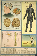 Framed Vintage Chinese Medical Print – Brain & Nerve System (Picture Anatomy Art