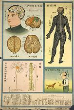 Framed Vintage Chinese Medical Print – Brain & Nerve System (Picture Anatomy Art