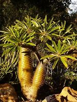 4 graines PALMIER DE MADAGASCAR (Pachypodium Lamerei)G125 SEEDS SAMEN SEMILLAS