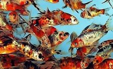 "15-Lot shubunkins 3""- 4"" GORGEOUS Live Goldfish Fish For Koi Pond PKF"