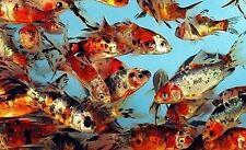 """8-Lot Live Shubunkins 4"""" GORGEOUS live Goldfish for koi pond PKF"""